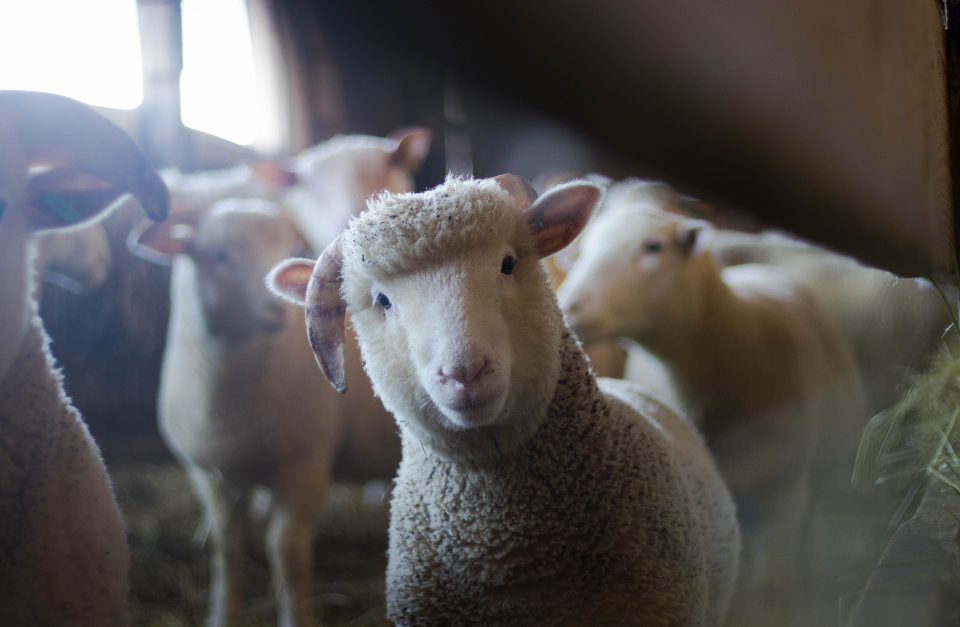 Free stock photo of curious sheep