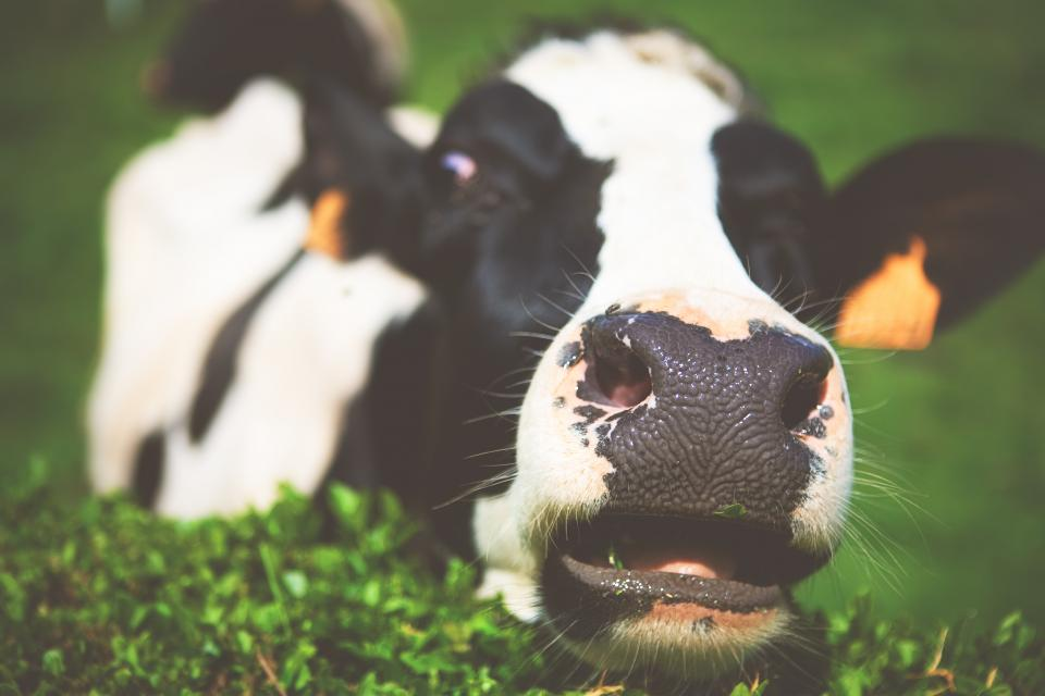 Free stock photo of dairy cow