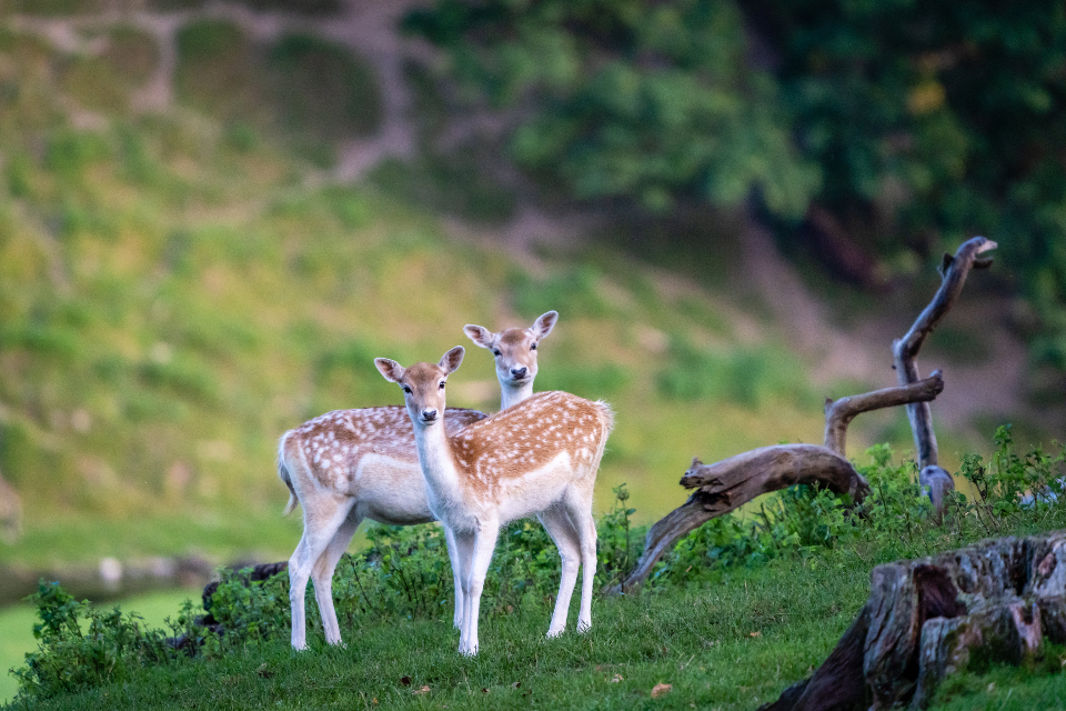 Free stock photo of deers nature
