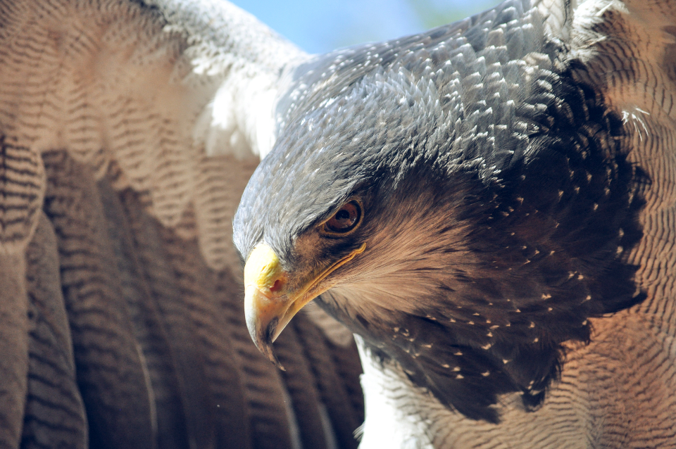 eagle bird close up