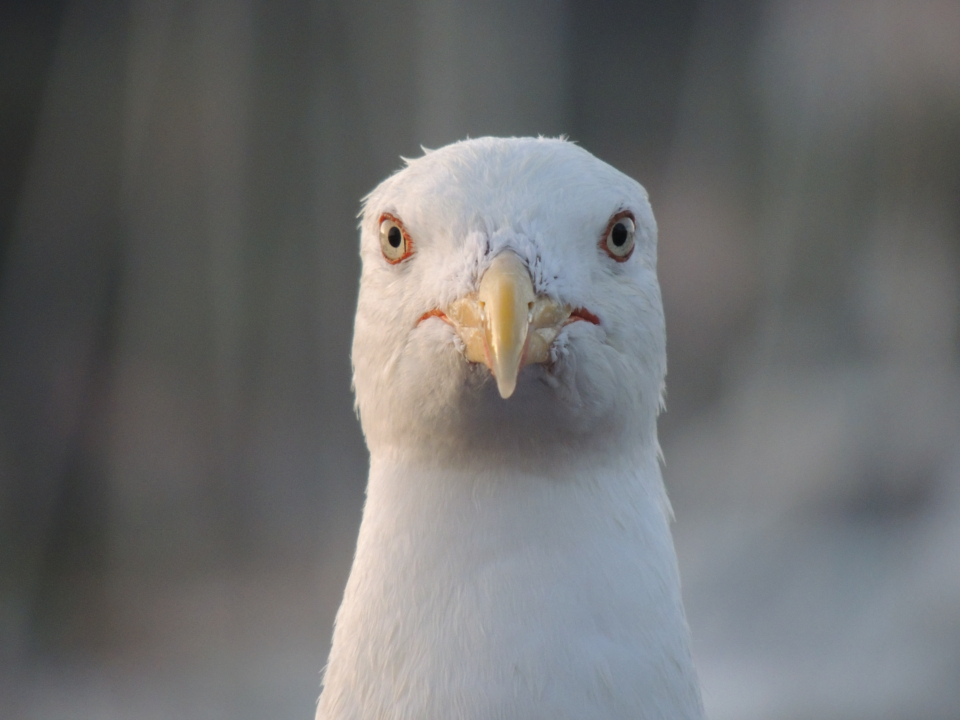 Free stock photo of facing seagull