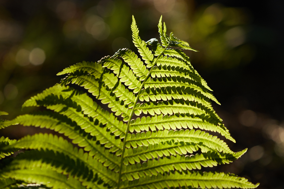 fern green botany