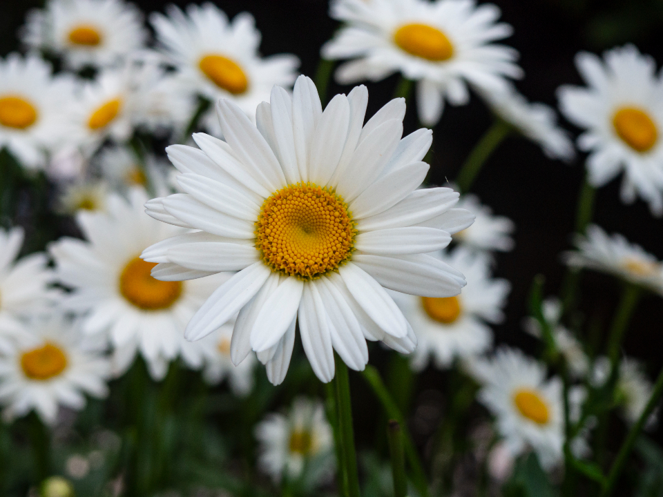 Free stock photo of flower background