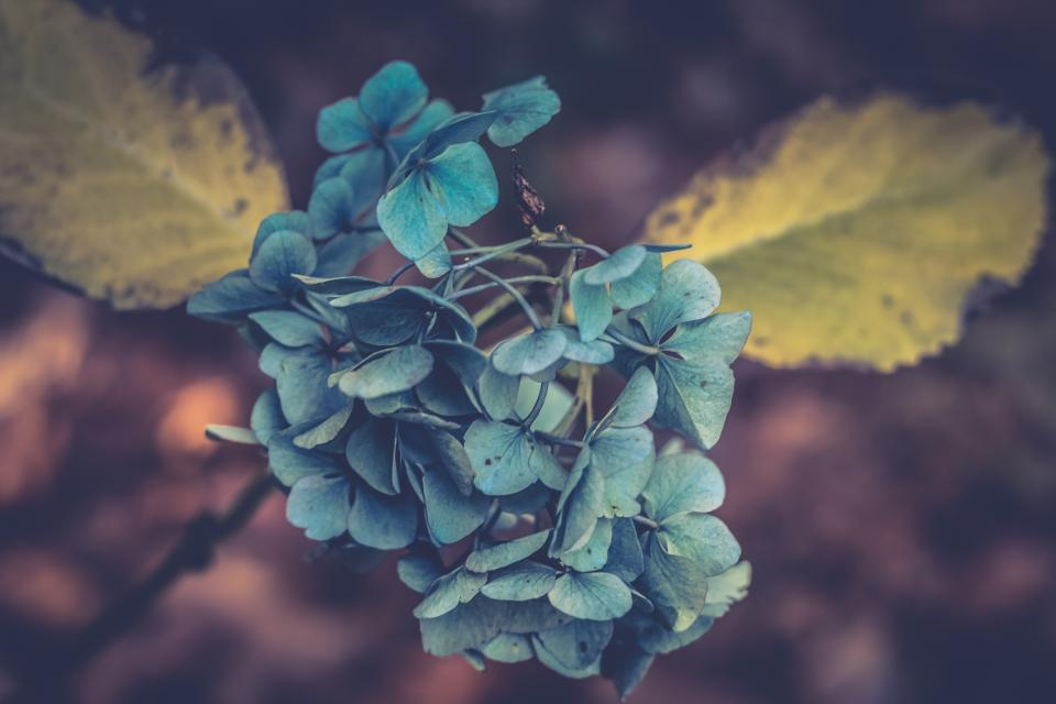 Free stock photo of flower blue