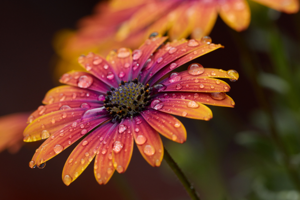 Free stock photo of flower drops