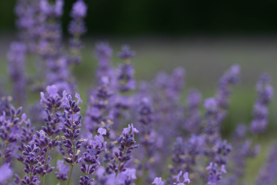flower field lavender