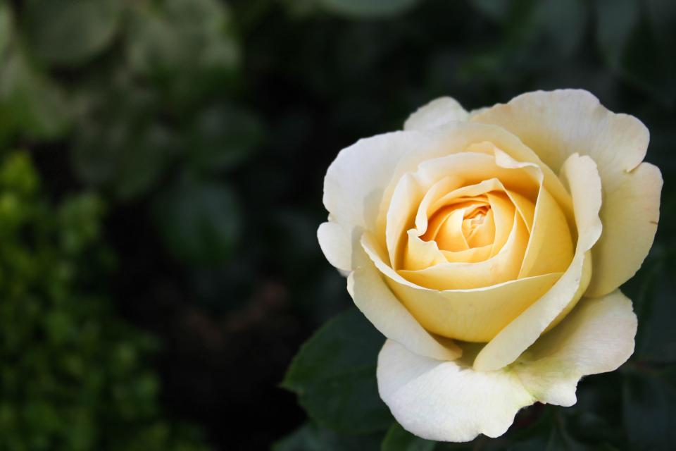 flower rose white