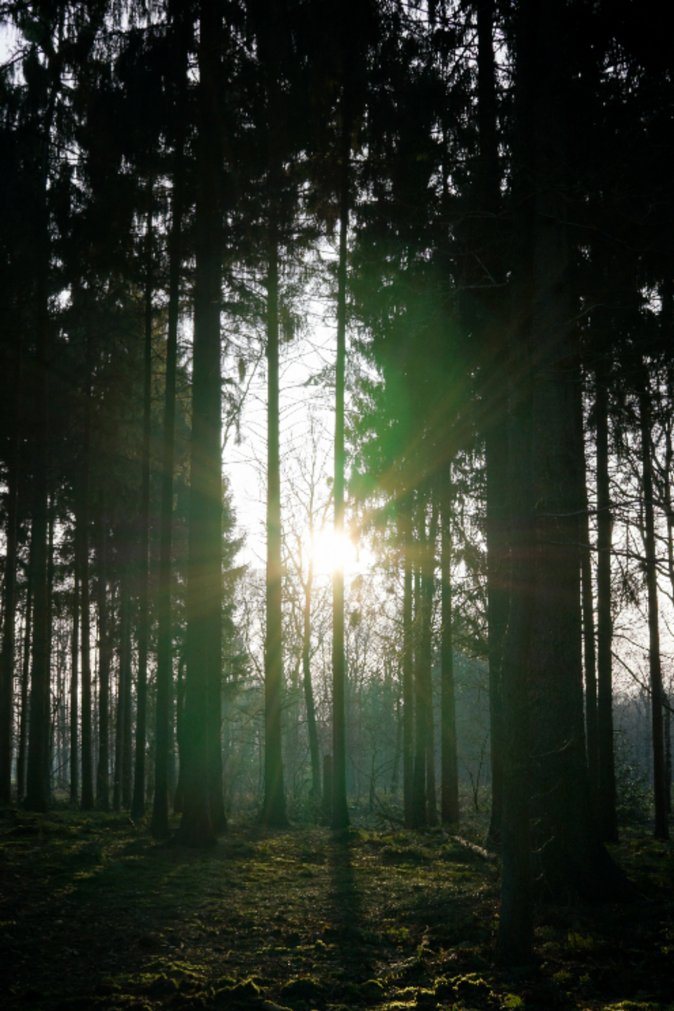 forest sun trees