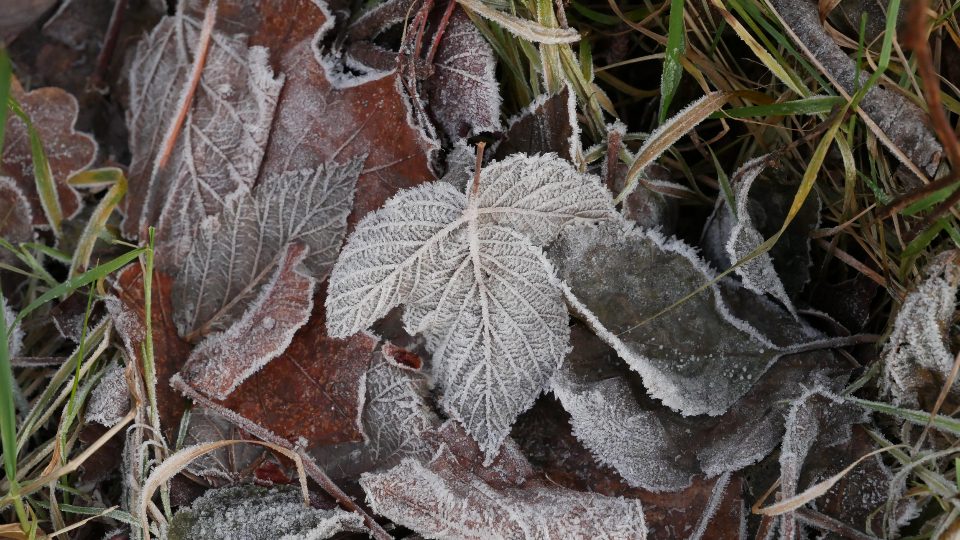Free stock photo of frost leaves