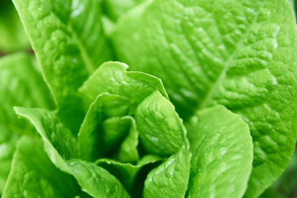 garden lettuce close up