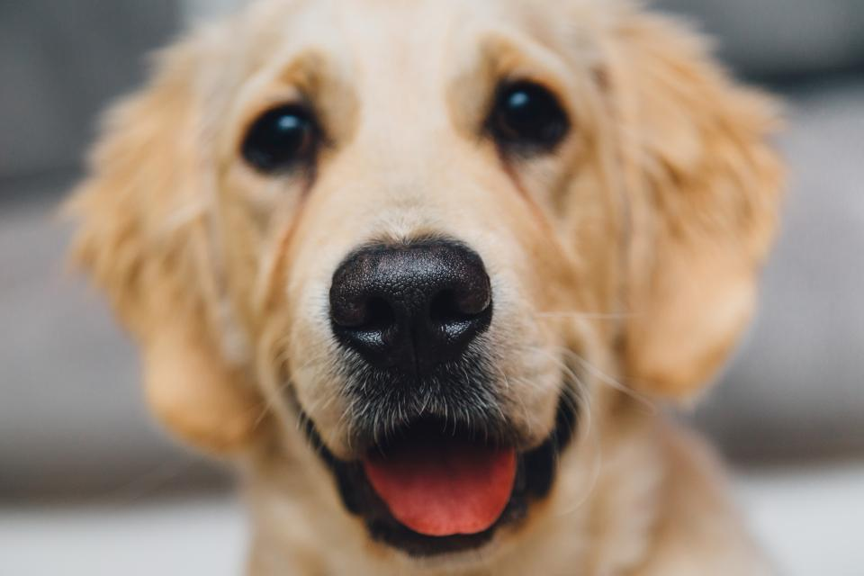 golden retreiver dog pet