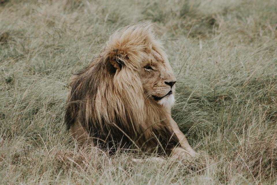 grass lion animal