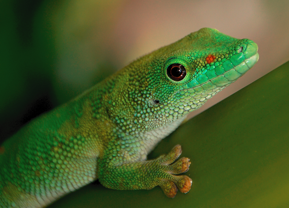 green gecko close up