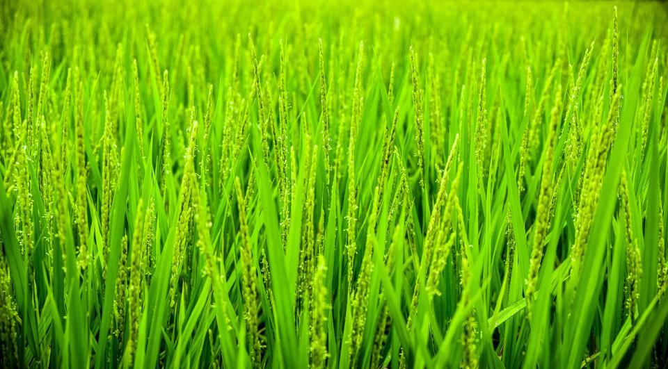 green grass wheat