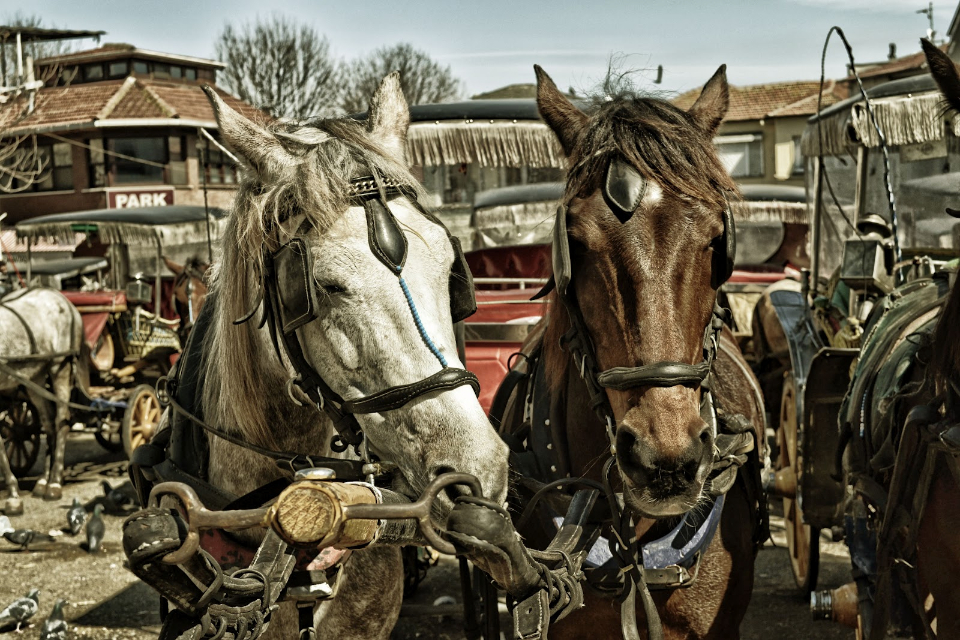 horses animals carriage