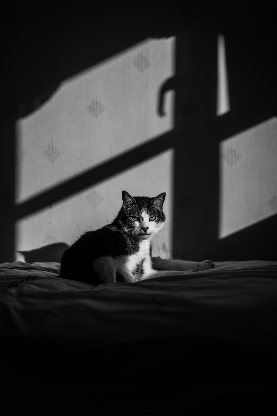 Free stock photo of house cat