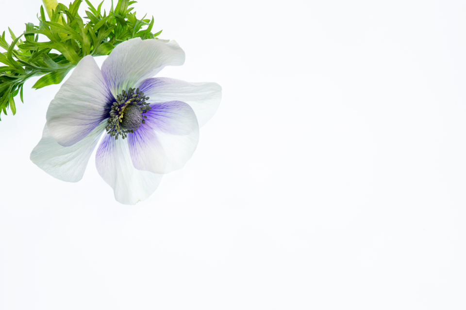 Free stock photo of isolated flower