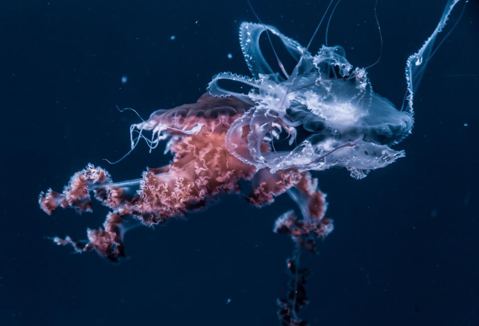 jellyfish aquatic animal