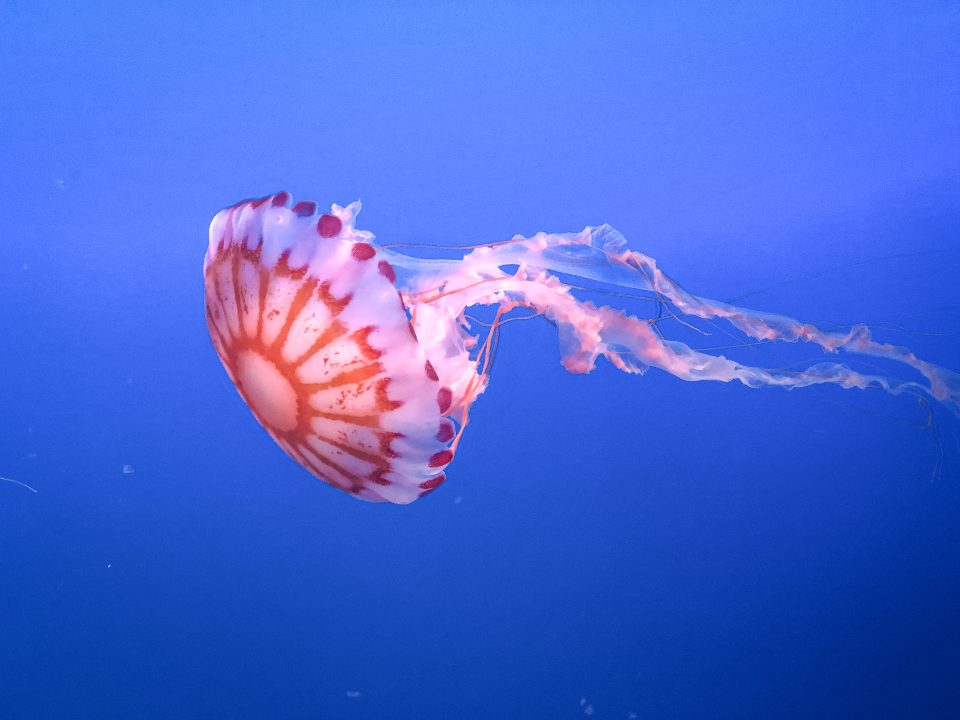 jellyfish water animal