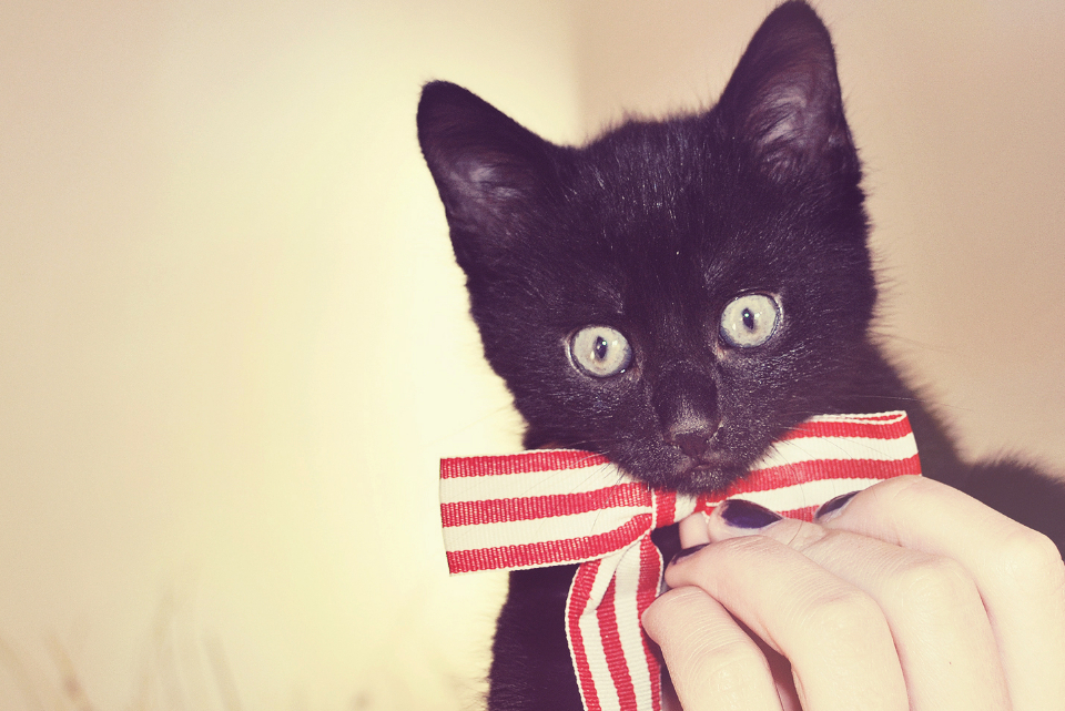 kitten bow close up