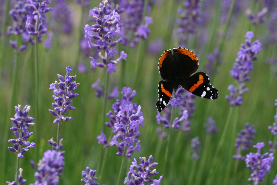 lavender butterfly flower