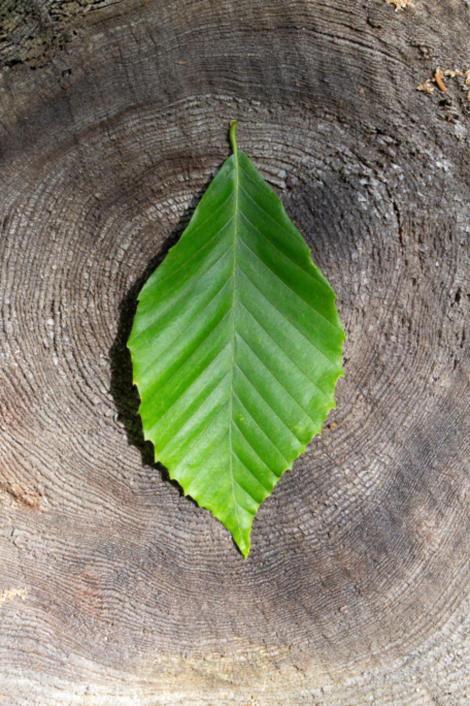 Free stock photo of leaf old
