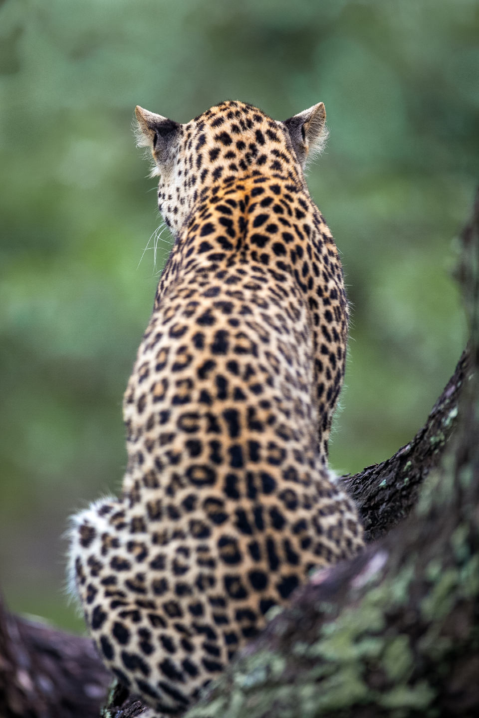leopard nature animal