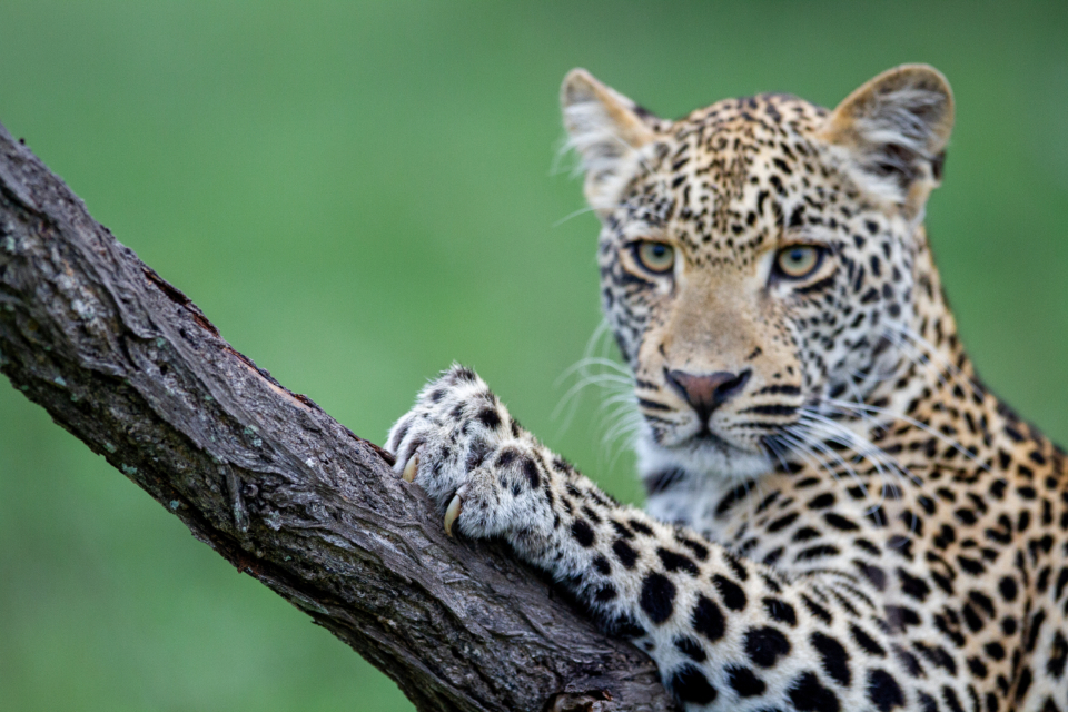 Free stock photo of leopard nature