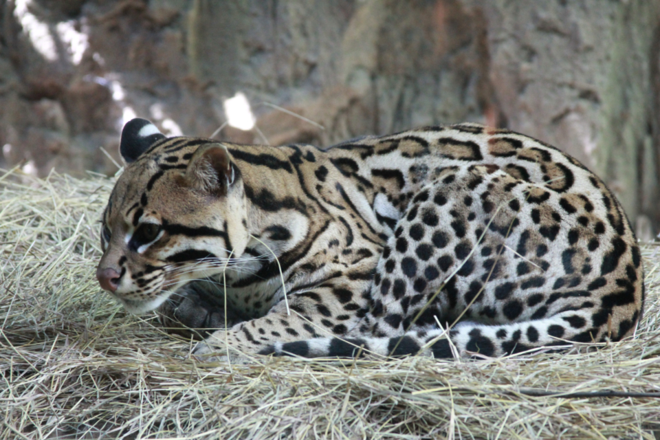 leopardus ocelot big cat