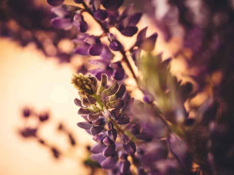 Free stock photo of lupine purple