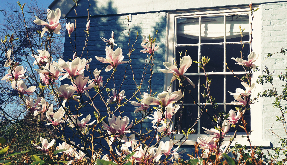 magnolia-tree_BE1ZGMEPAN.jpg (960×551)