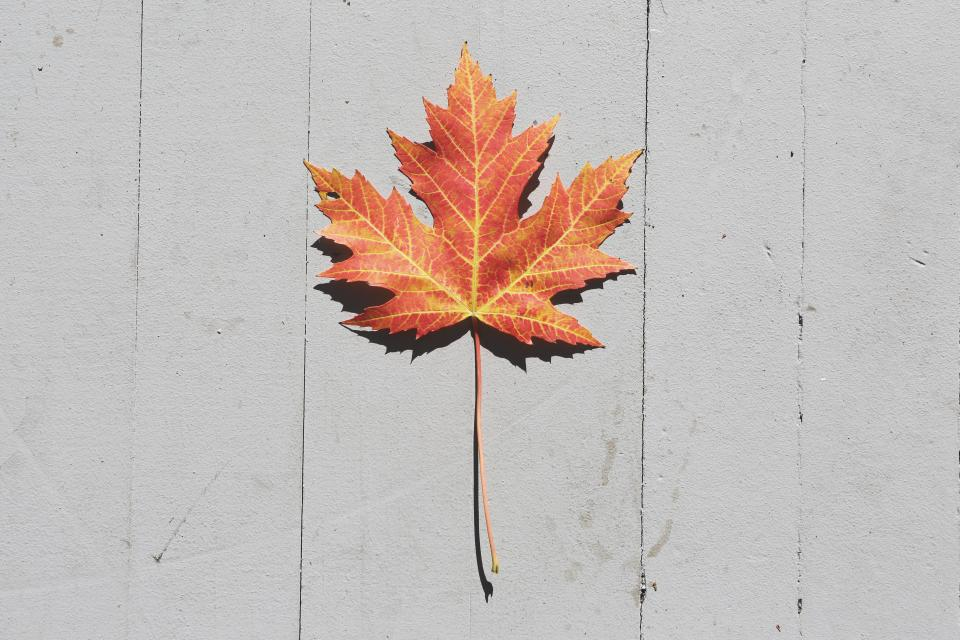 maple leaf fall autumn