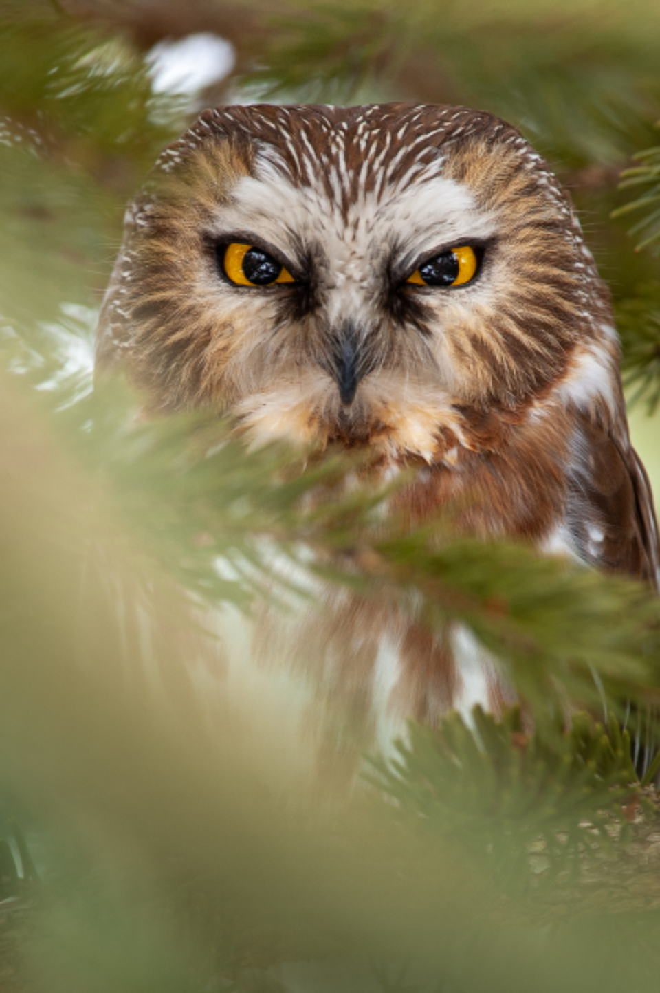 owl eyes nature