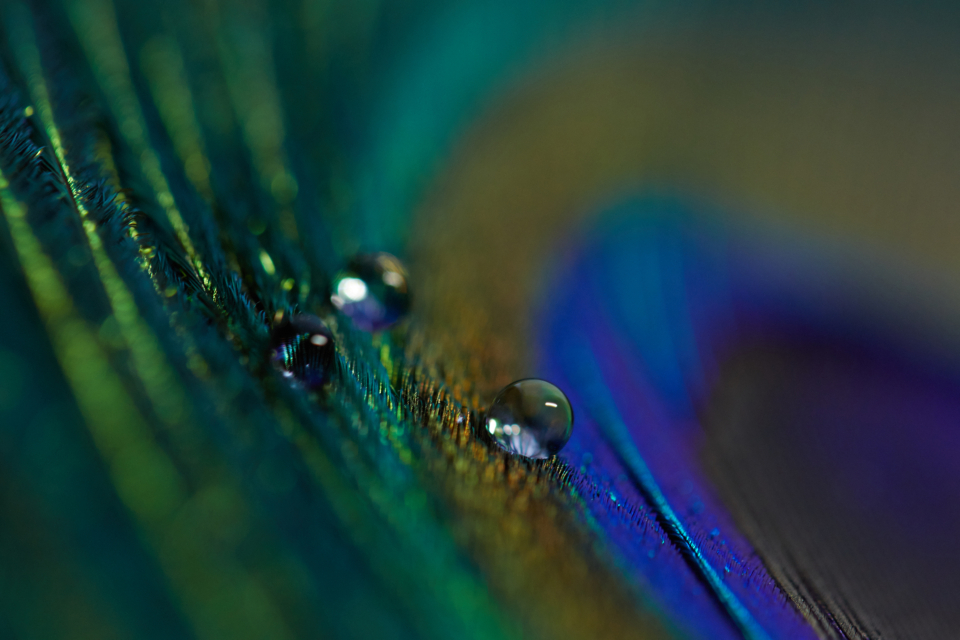peacock feather macrophoto with some water drops on it