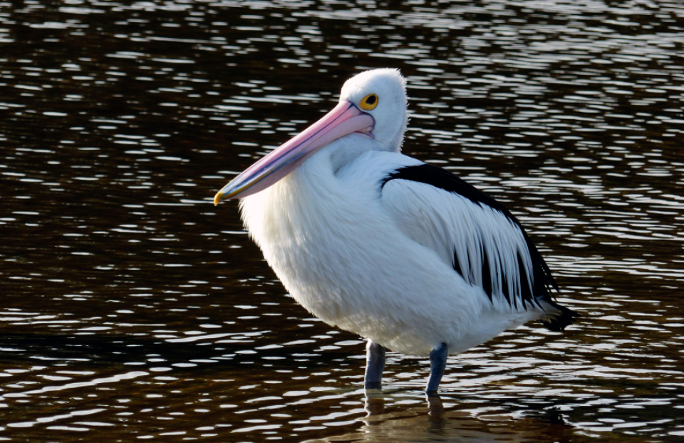 pelican water nature