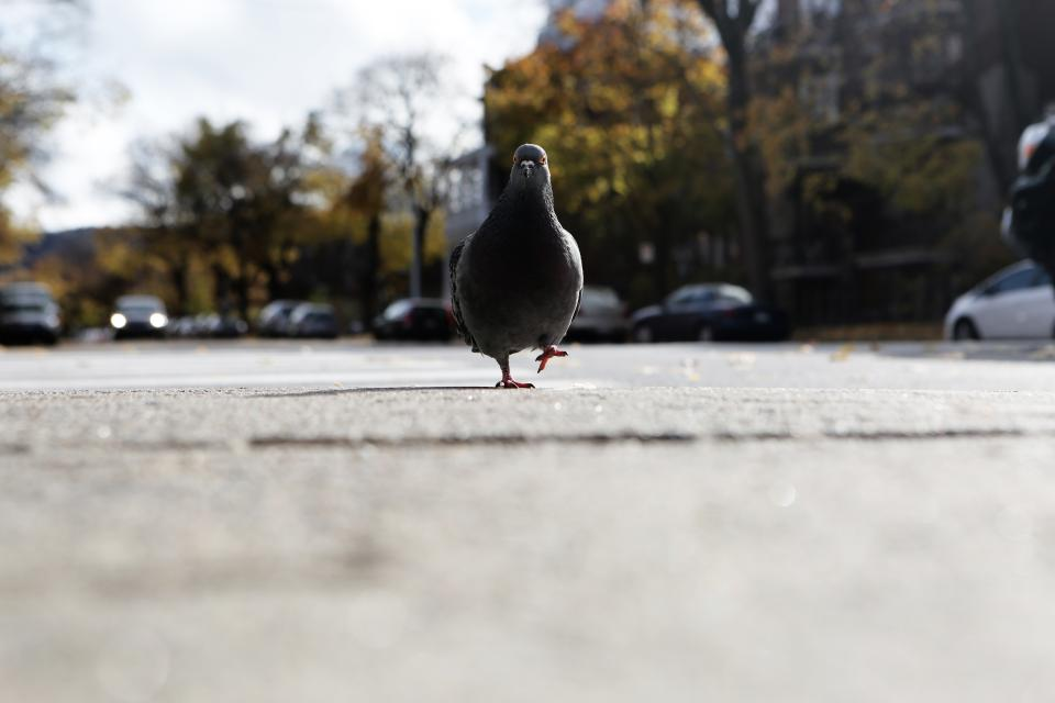 pigeon bird walking