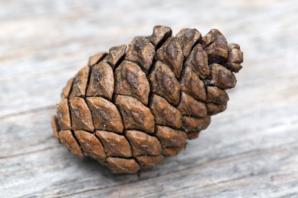 Free stock photo of pine cone
