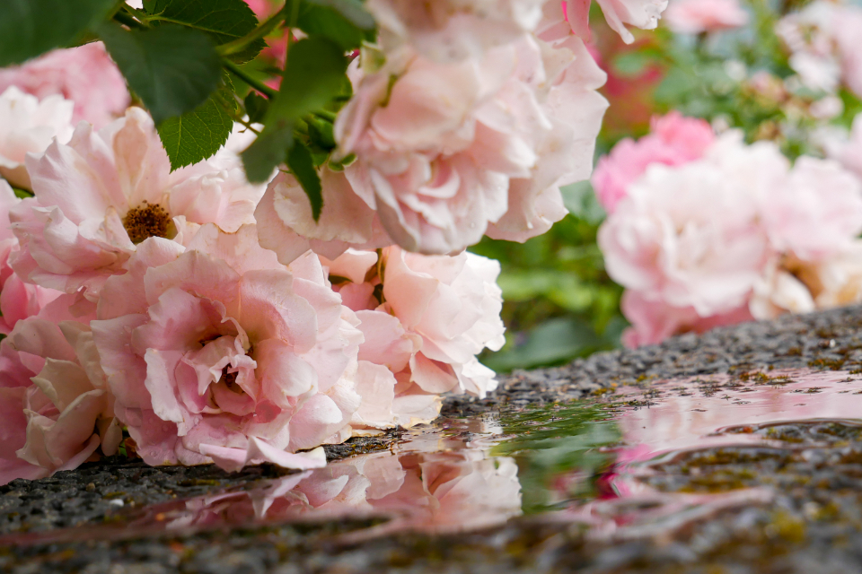 Free stock photo of pink blossoms