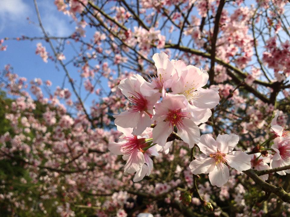 pink blossoms bloom
