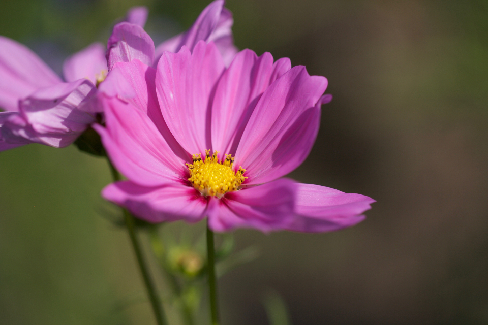 Free stock photo of pink flower