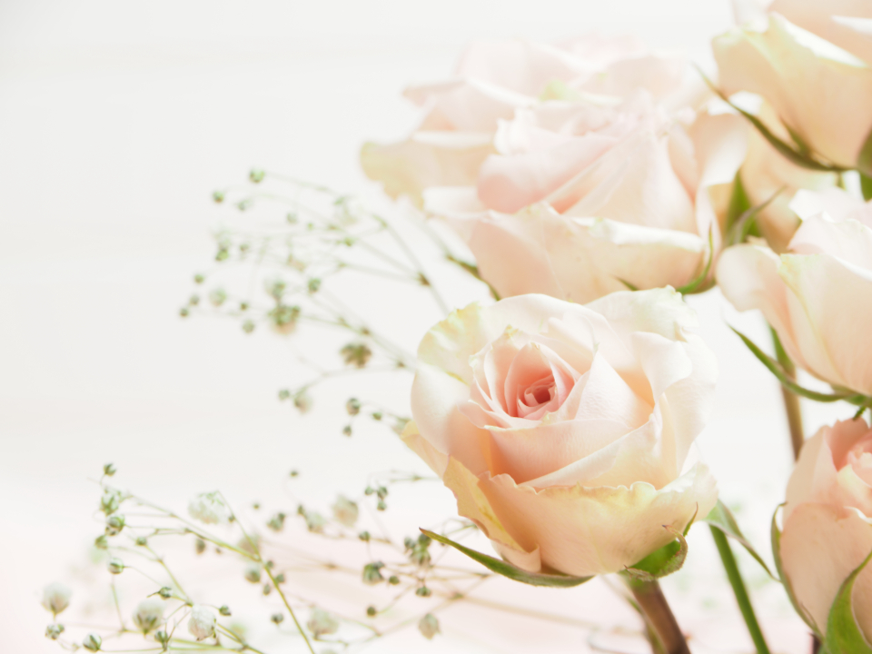 Free stock photo of pink roses