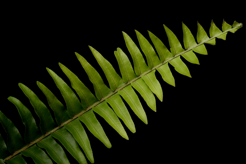 plant fern black background