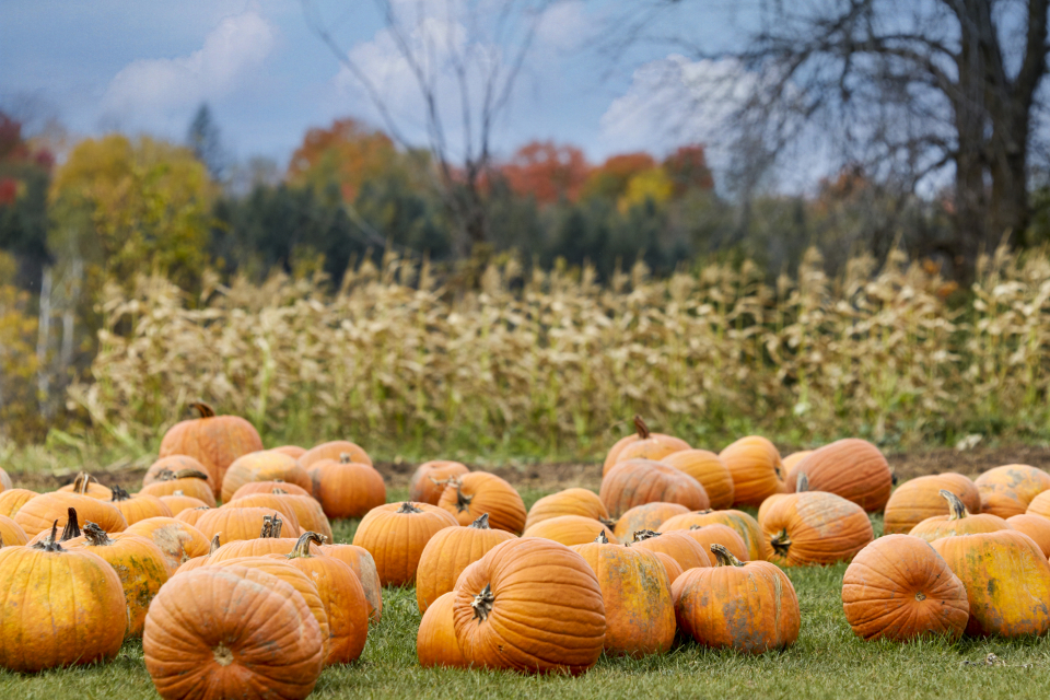 Free stock photo of pumpkin patch