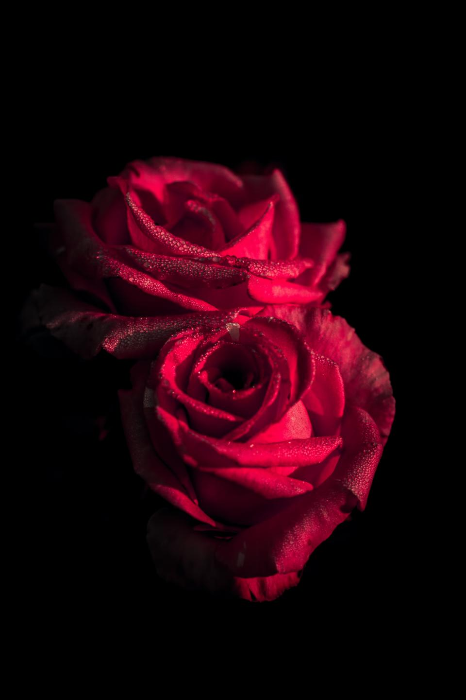 red flower rose