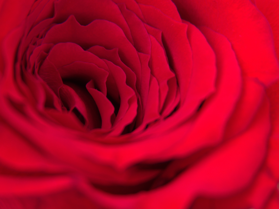 Free stock photo of rose macro