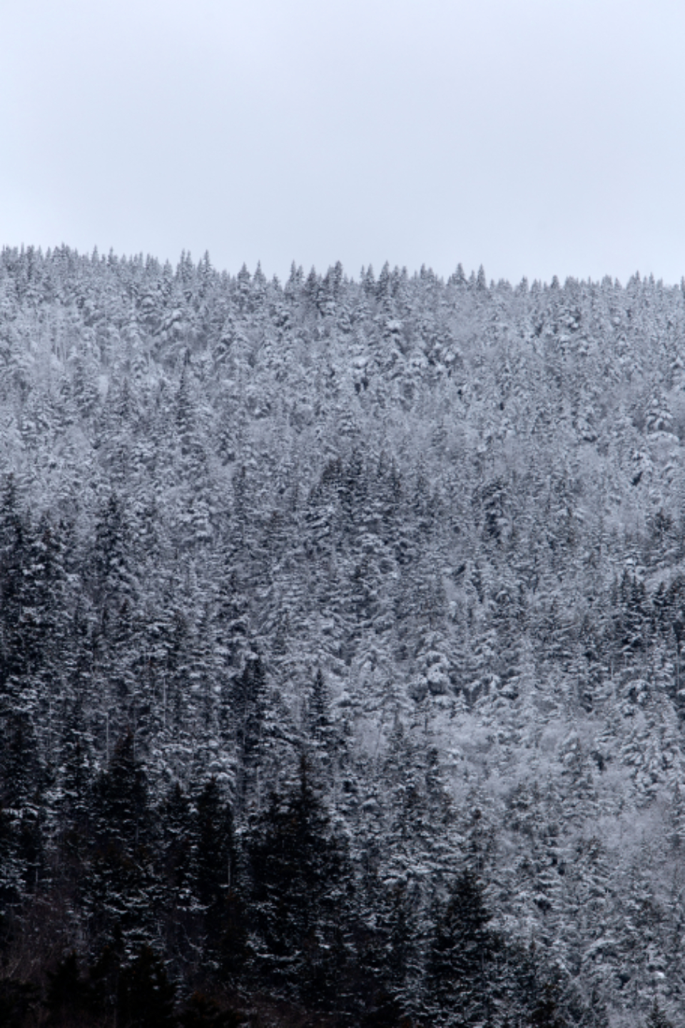 snow forest trees