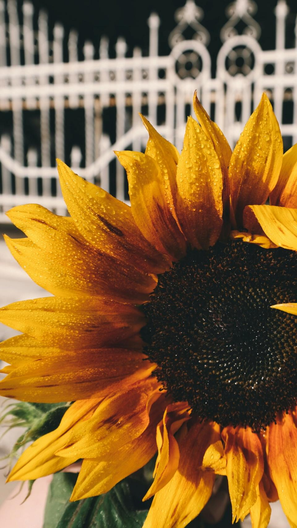 sunflower petals plant