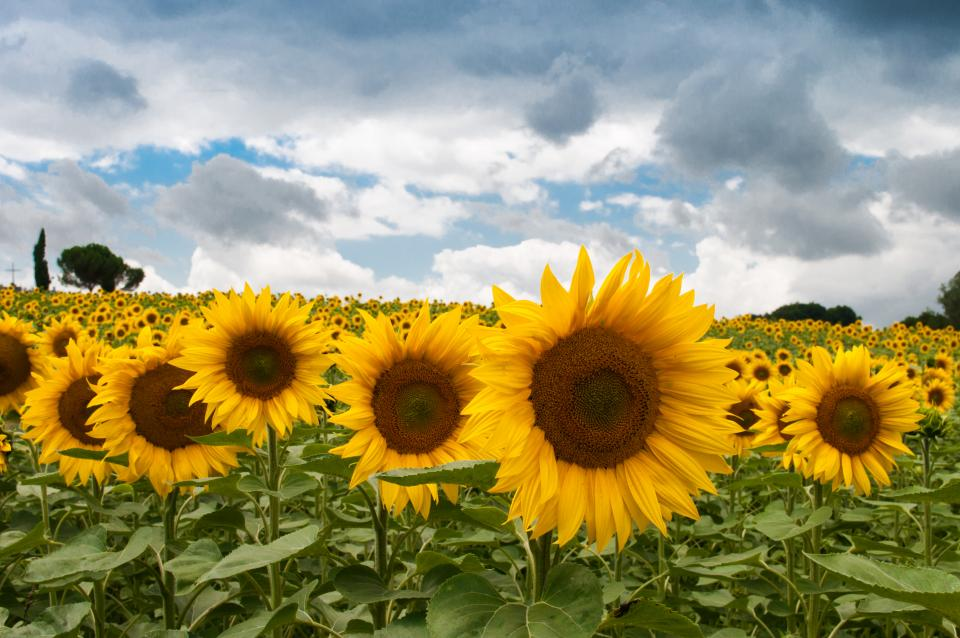 Free stock photo of sunflowers garden