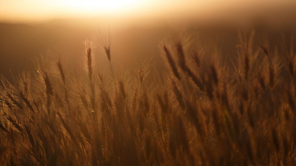 Free stock photo of sunset crops