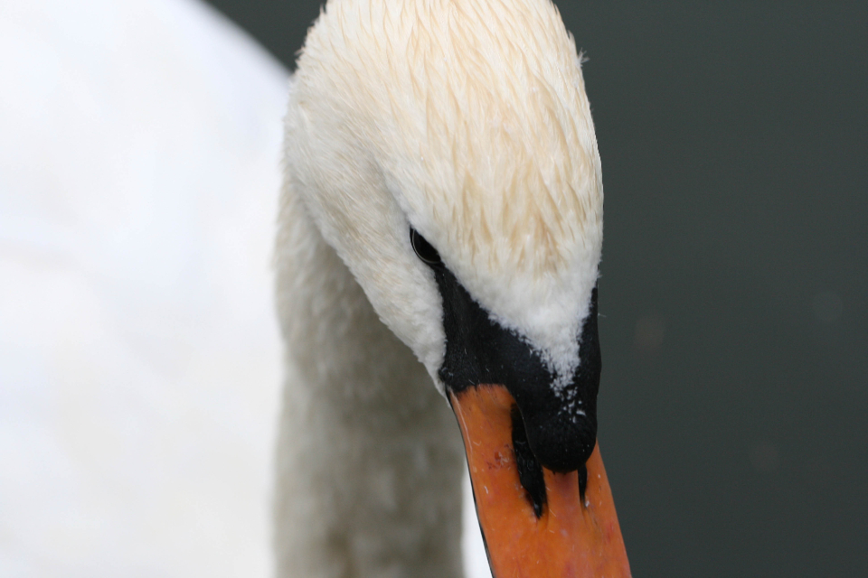 Free stock photo of swan close up